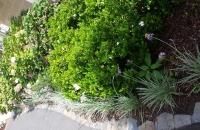 Cottage Garden, Liriope, Hydrangea