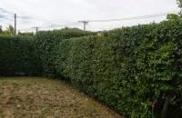 Neater hedge, garden 1