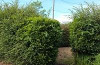 before scruffy hedge-1