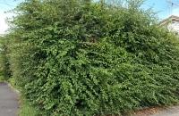before scruffy hedge 1